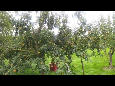 Apple variety Bramley Seedling