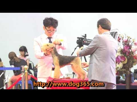 2016.06.18 KKF DOG SHOW - Lakeland Terrier