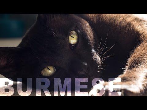 A VLOG | BURMESE CATS | A WEEKEND CHILL