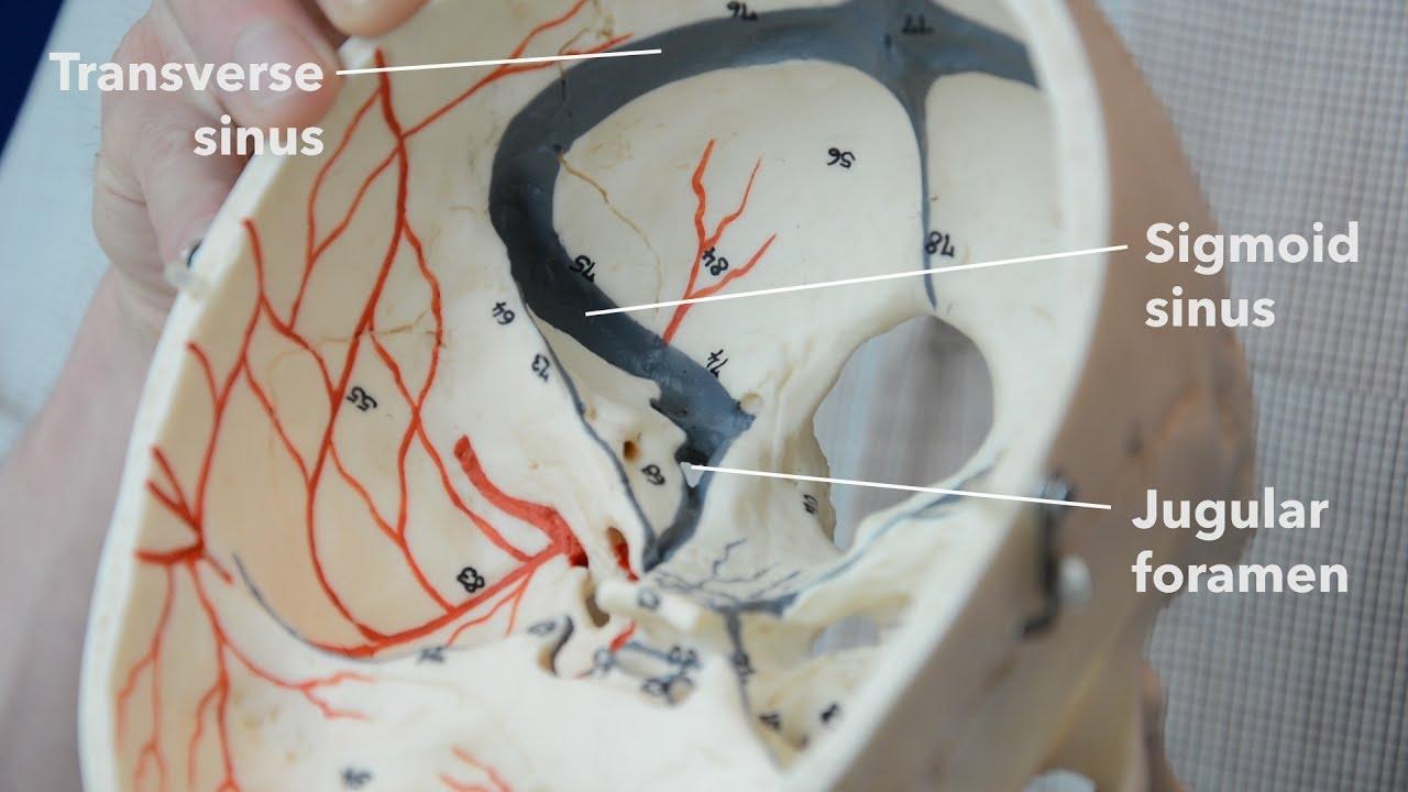 Dural venous sinuses - YouTube