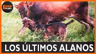 ALANO ESPAÑOL los últimos Alanos