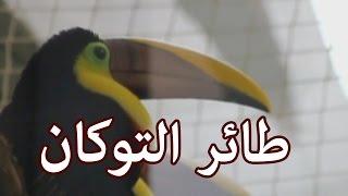 الحيوانات - طائر التوكان