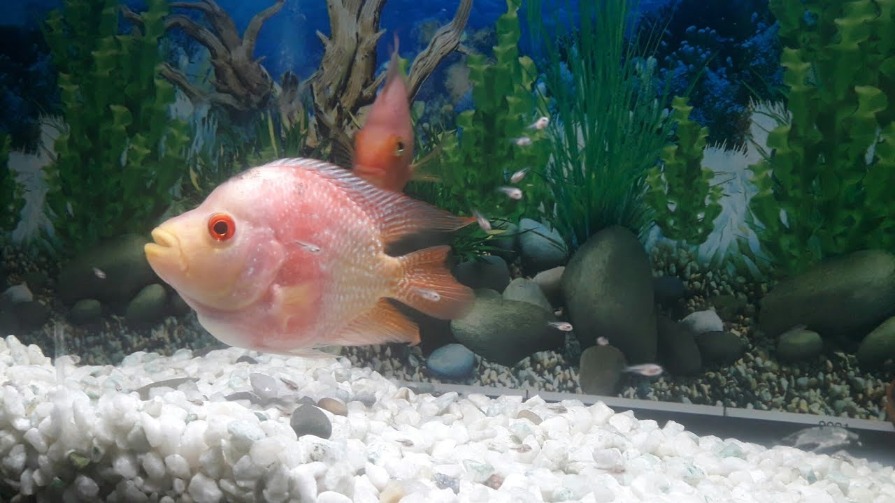 Flowerhorn & Parrot Fish ••• Fry's [Forth Time Breed] ll ...