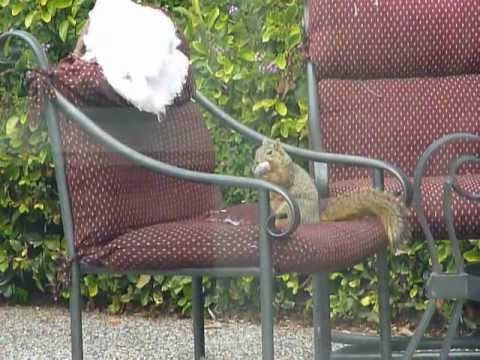 Cushion Eating Squirrel Mov