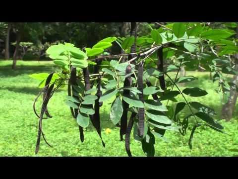 Senna leaf tea - HERBTM.COM | Doovi