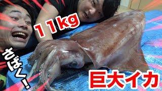 11kgの巨大イカをトミックさんと一緒にさばいてみよう!!
