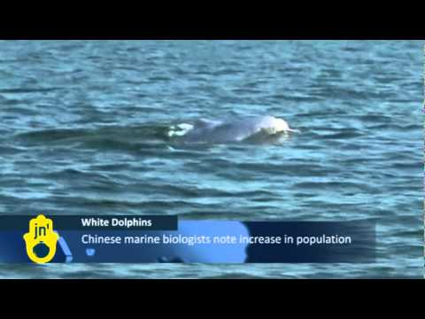 China's White Dolphins in Beibu Gulf: Marine Biologists Say Humpback Dolphin Population Rising