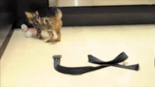 bengal kittens have lust for life