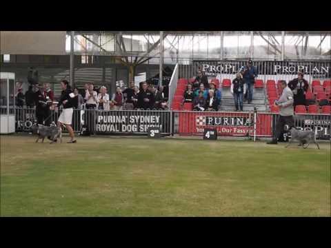 Royal Easter Show Sydney 2017  Australian Stumpy Tail Cattle Dogs
