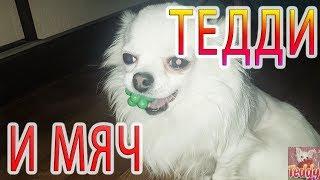 Чихуахуа собака мини/Приколы чихуашкой/чихуахуа играет с мячом/Teddy_Chih/Порода собак/ Chihuahua
