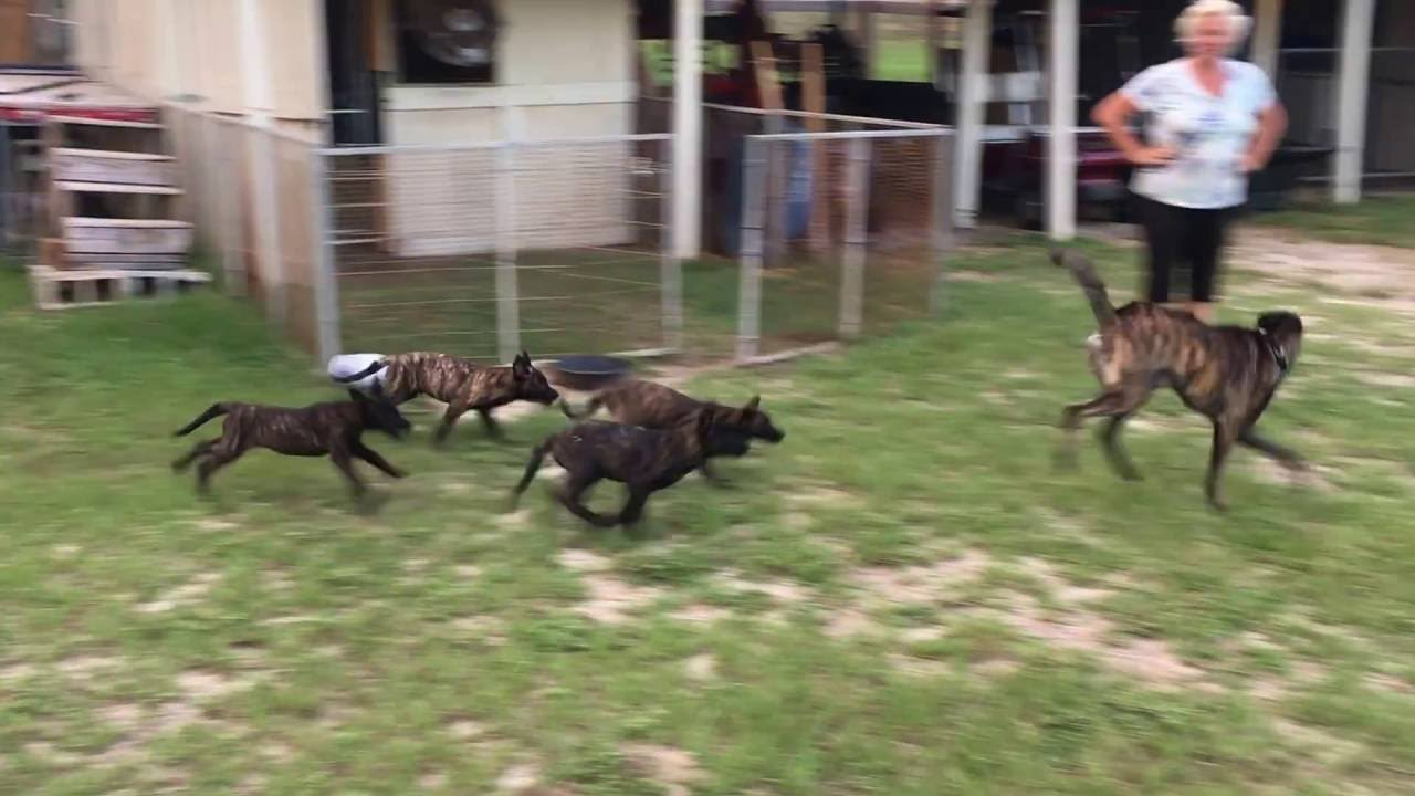 Dutch Shepherd Puppies At 9 Weeks Old Youtube