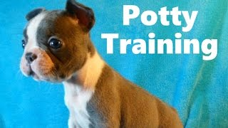 How To Potty Train A Frenchton Puppy - Frenchton House Training - Housebreaking Frenchton Puppies
