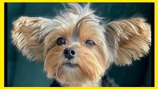 YORKIE DOG  YORKSHIRE TERRIER COMPILATION  YORKSHIRE TERRIER FACTS  YORKIE TERRIER
