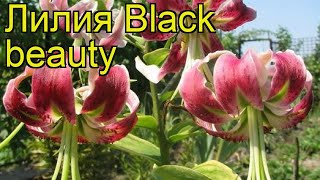 лилия (Black beauty). Краткий обзор: Лилия описание характеристик, где купить луковицы