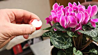 Всего 1 колпачок этого вещества и растения в доме цветут круглый год! Кальциевая селитра дом цветам!
