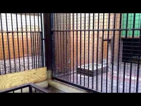 Poor Lion in Blijdorp Zoo Rotterdam