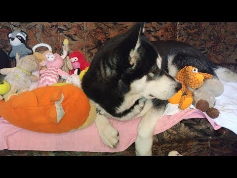 Alaskan Malamute and her indoor toy collection