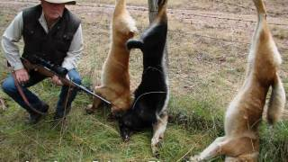 wild dogs kill native australian animals livestock wmv