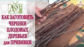 видео Выбор и заготовка черенков
