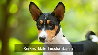 Basenji Puppy Xerxes. Tricolor Male 7 months old.