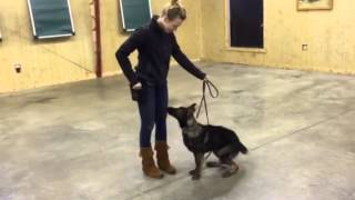 "Sable German Shepherd ""cricket"" Obedience Protection Trained Home Security Kid Safe For Sale"
