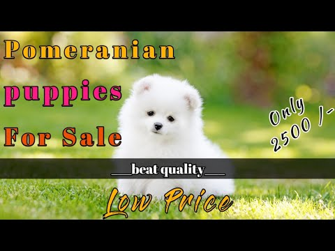 Pomeranian Puppies For Sale In Low Price Pomeranian Puppy For Sale In 2500 Meerut Pet Shop Youtube