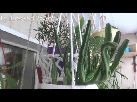 Комнатные цветы/растения. Стапелия и Гуэрния/Хуэрния. Мини коллекция у меня дома.
