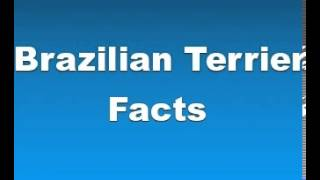Brazilian Terrier Facts - Facts About Brazilian Terriers