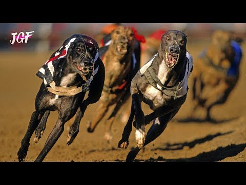 Track race - Dog race 2019 - Racing greyhounds