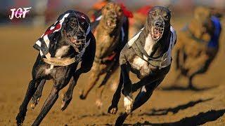 Track race  Dog race 2019  Racing greyhounds