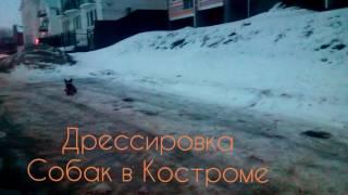 Дрессировка собак в Костроме