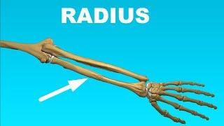 Radius Anatomy - Forearm Bones #6