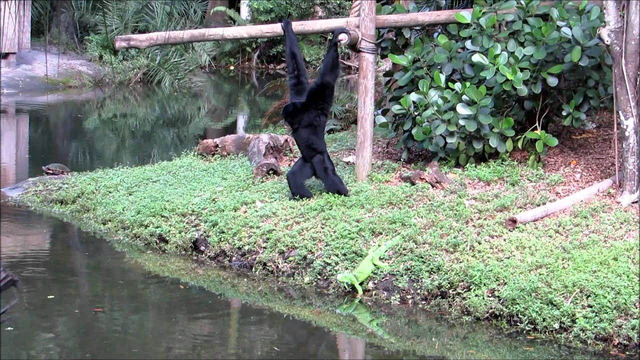 Siamang vs. Iguana at Palm Beach Zoo - YouTube