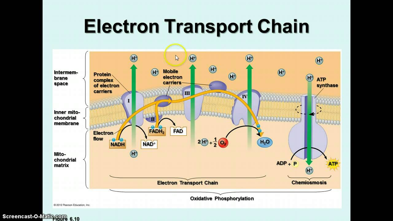 7df42333 further Lactobacillus plantarum and its biological implications further 9007447 as well Etc Electron Transport Chain besides Watch. on diagram of electron transport chain
