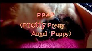 PPAP (Pretty Pretty Angel Puppy) 可愛い可愛い天使のような...