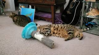 New  Refurbished cat toy from spare parts. Bengal cats are so awesome!