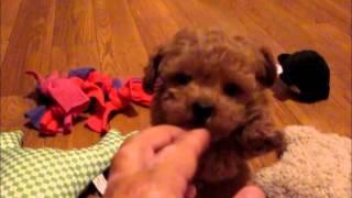 Toy Poodle Puppies Fuzzywuzzypups.com Sweet Baby Boy!!