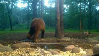 Bear Was Back 6-19-17