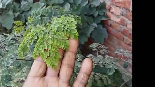 117 Sahajan Moringa Health Benefit
