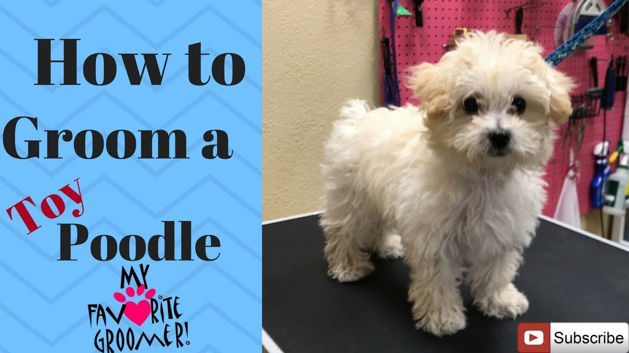 How to groom a Poodle puppy