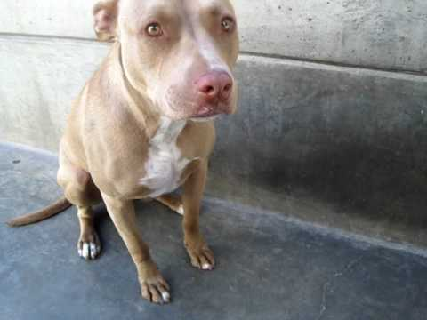 Lovely ALLIE (A270621) Gorgeous Pit/Lab Mix at Pasadena Humane