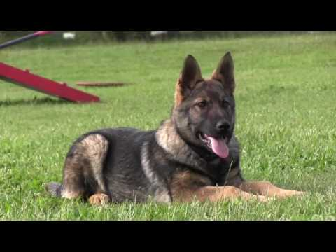 Best German Shepherd Puppy Training