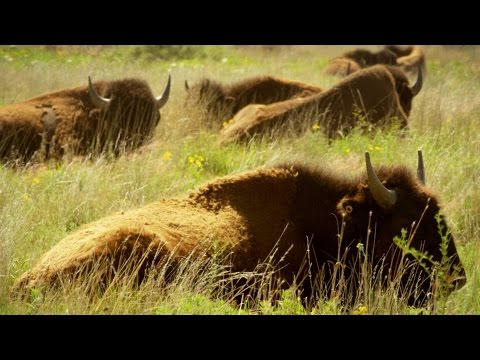 Native Americans Saw Buffalo as More Than Just Food (4K)