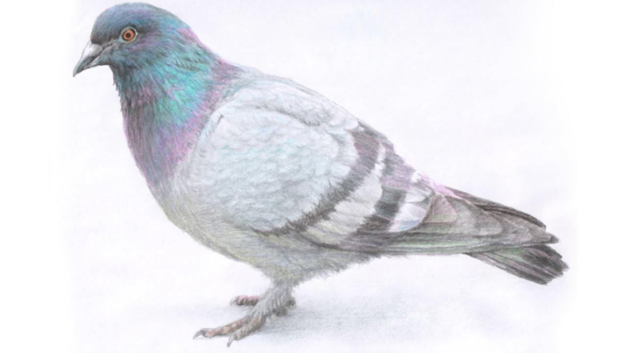 цветные картинки голубя опубликовало