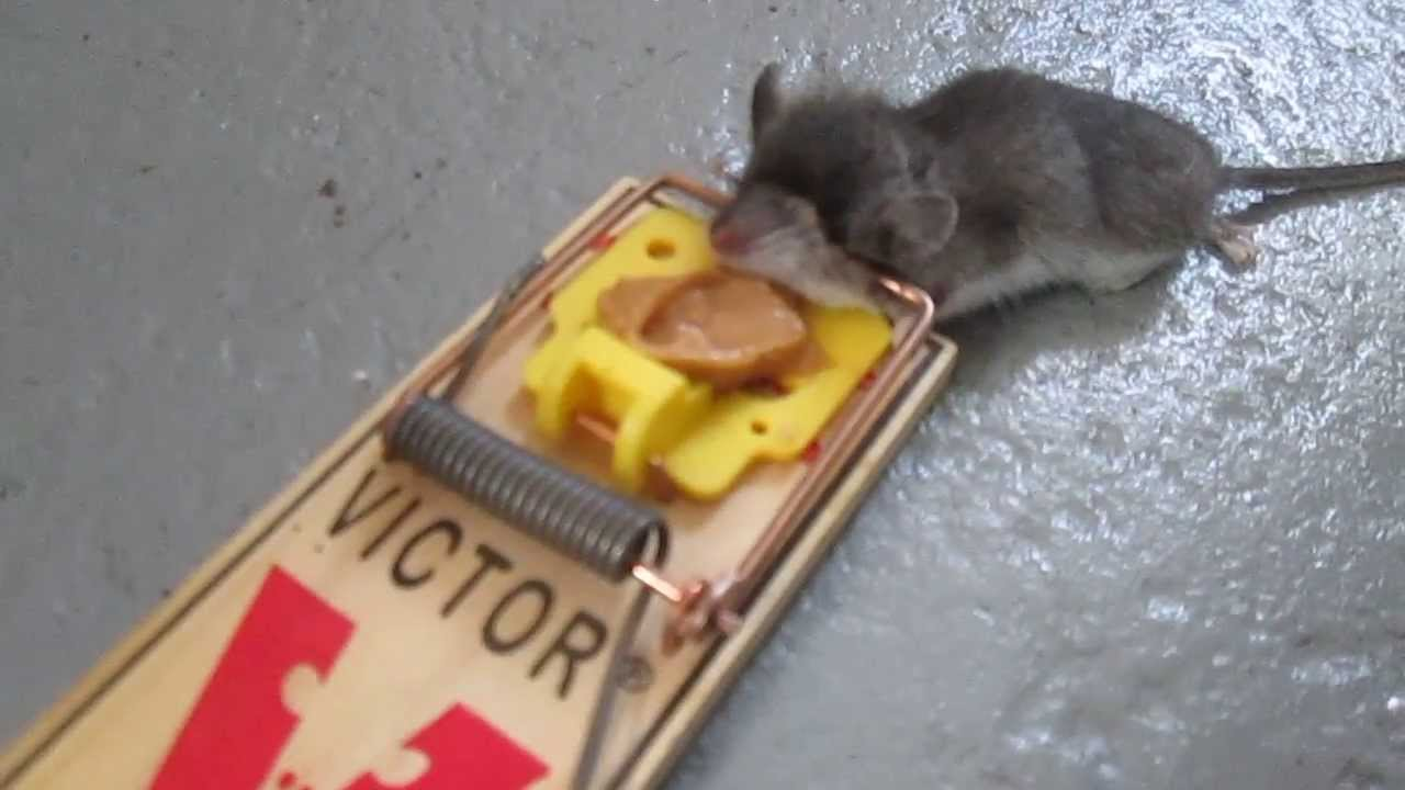 Dead Mouse In A Trap Funny Youtube