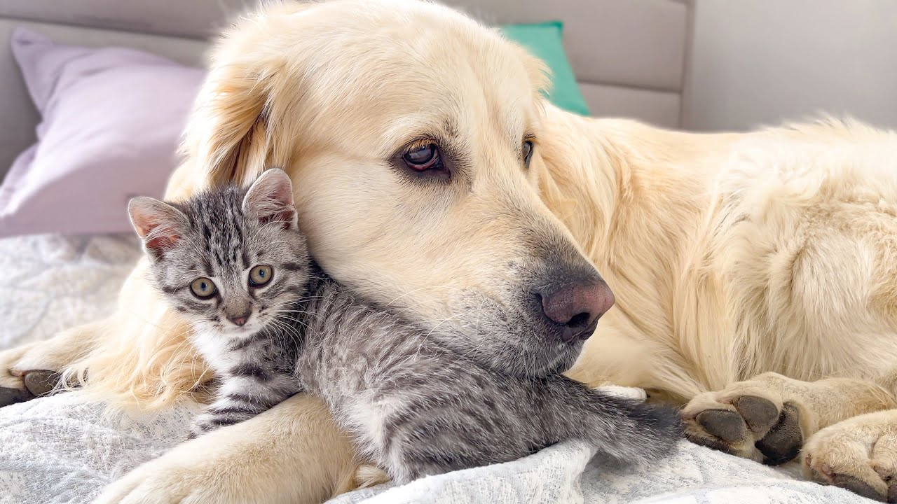What the friendship of a Golden Retriever and a Baby Kitten looks like