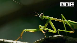 The Headless Mating Mantis 🤯 | The Mating Game - BBC