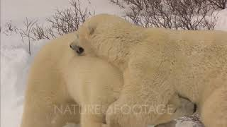 Polar Bear Cubs Play Fighting
