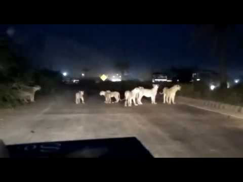 Amazing video lions crossing road at 8pm at vasai gujarat highway