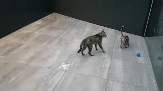 Savannah cats super happy in their new outdoor enclosure!!